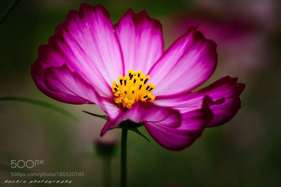 Cosmos of a cloudy day by BuchioTakano. @go4fotos