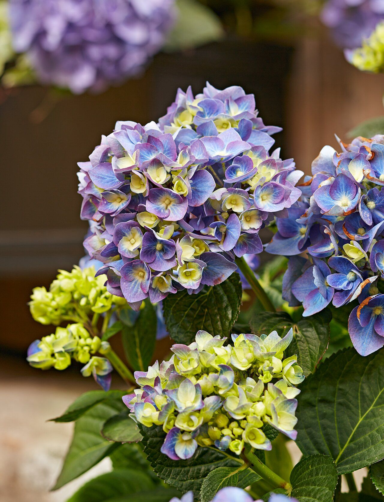 6 Surprising Facts You Didn T Know About Hydrangeas In 2020 Hydrangea Flower Hydrangea Colors Hydrangea Care