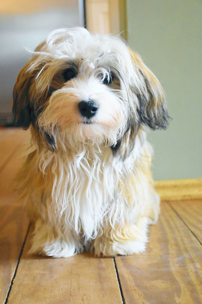 Pin On Puppy Breeds