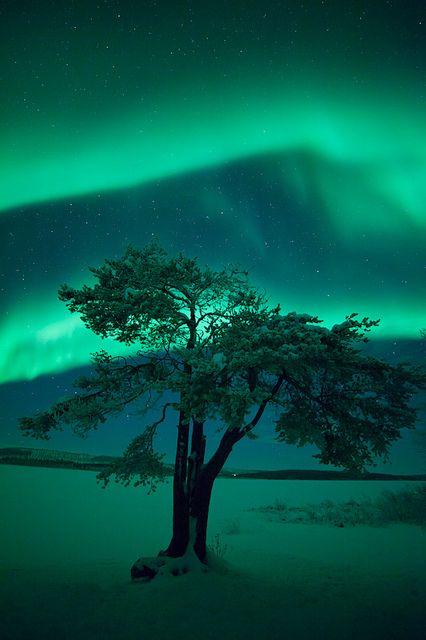 Northern Lights - Lonely Lapland Tree, Finnish Lapland. #finland #suomi #auroraborealis Ihailla värikkäitä revontulia.