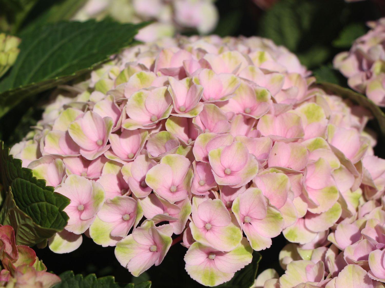 French Hydrangea Magical Revolution Pink Hydrangea Macrophylla 수국
