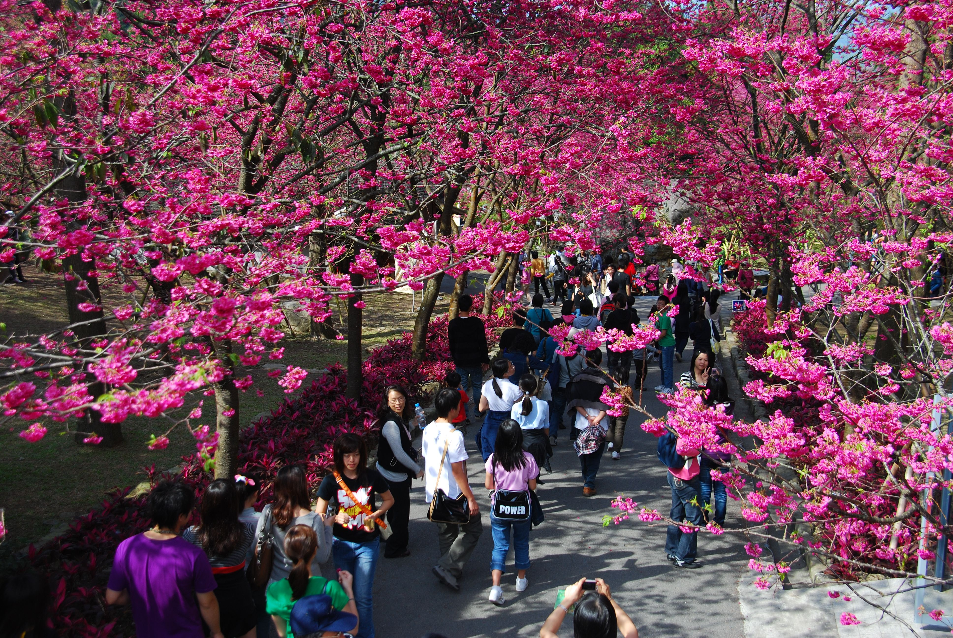 The Biggest Cherry Blossom Festival In Taiwan Cherry Blossom Festival Cherry Blossom Festival