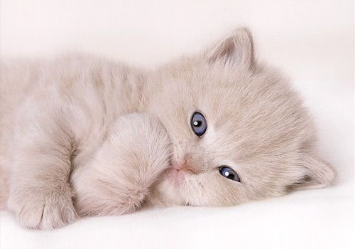 Pin By Sparklette Magazine On Cats Kittens British Shorthair