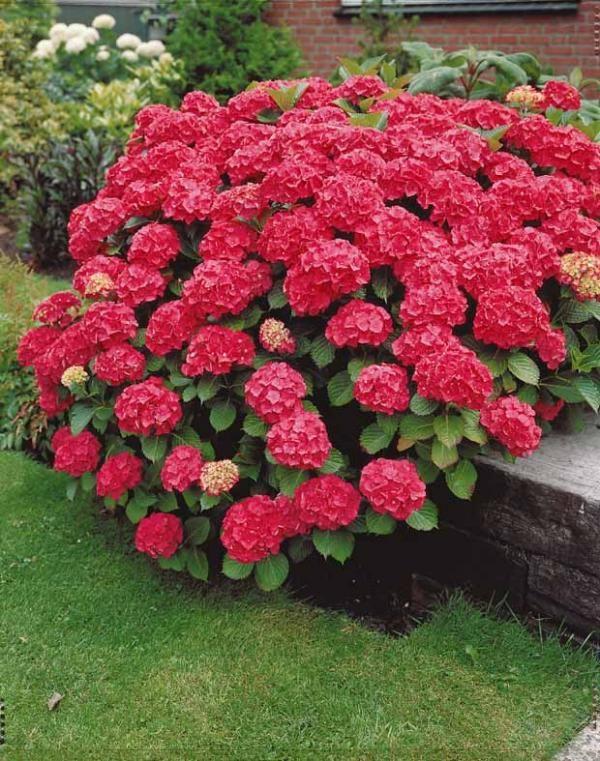 Hortensia rouge achat vente arbustes en ligne chez for Jardin willemse