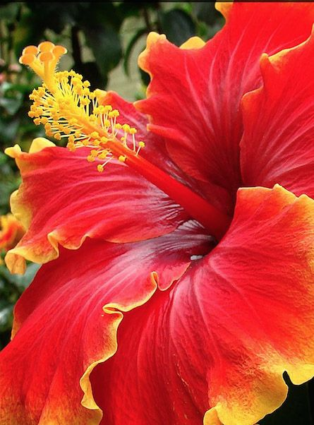 Brighten You Gardens With Hibiscus Plants Care Yellow Leaves Curling
