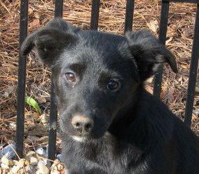 Adopt Raven On Animal Rescue Black Labrador Retriever Animals