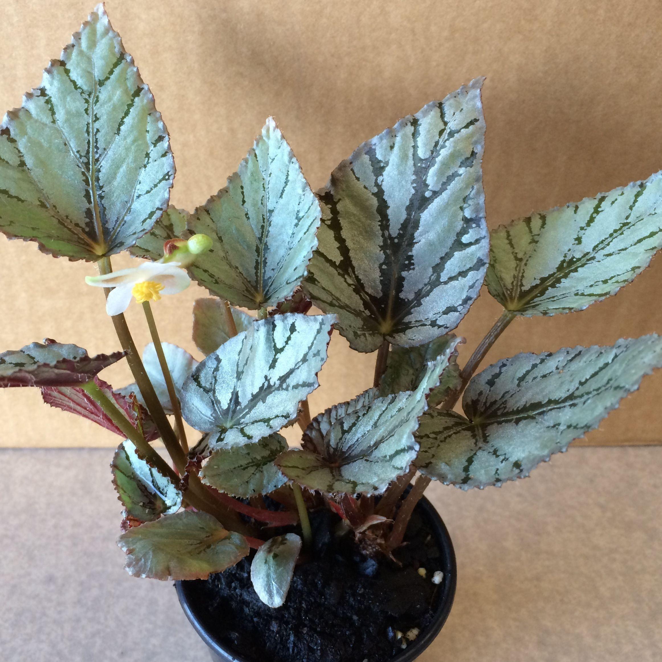 Buy Begonia Arctic Breeze Rex Begonias Plants Online At Gardener S Treasures In Adelaide South Australia Plants Diy Plants Flower Garden