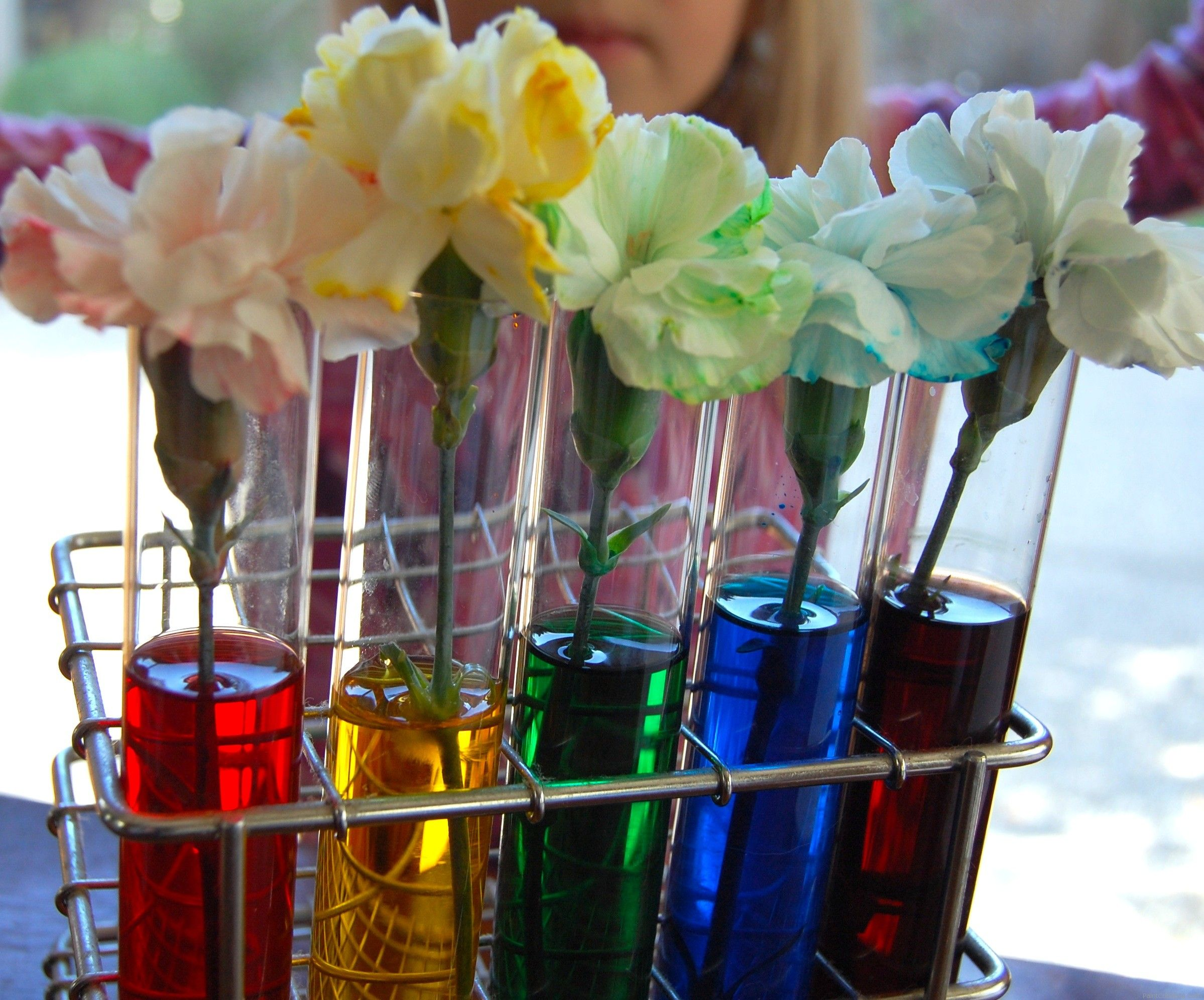science experiment, color changing rainbow carnations ...