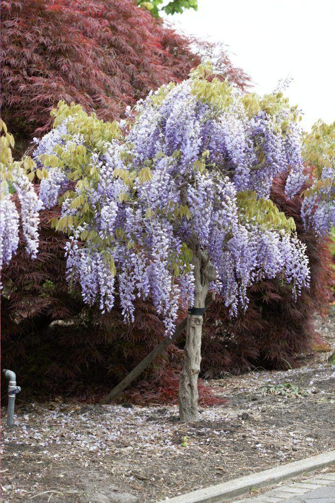 Wisterie Prolific Blumenbaum Pflanzen Hortensien
