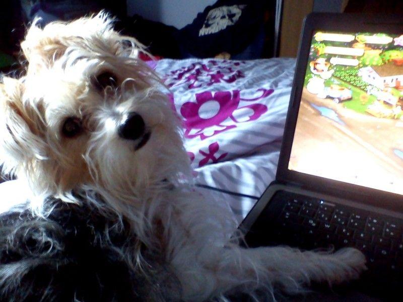 Malteser-Jack-Russel-Mix Minou  Frauchen hast du 1 Euro? Ich würde soooo gern den Trecker kaufen         Mehr lesen: http://d2l.in/8v  dogs2love - Gassi gehen zum Verlieben. Partnerbörse für alle, die Hunde lieben.  Dating, Foto, Hund, Single