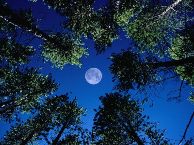 Full moon surrounded by tall trees-Colorado