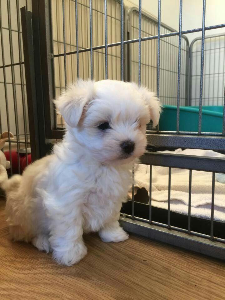 Maltese terrier puppy terrier puppy pets puppies