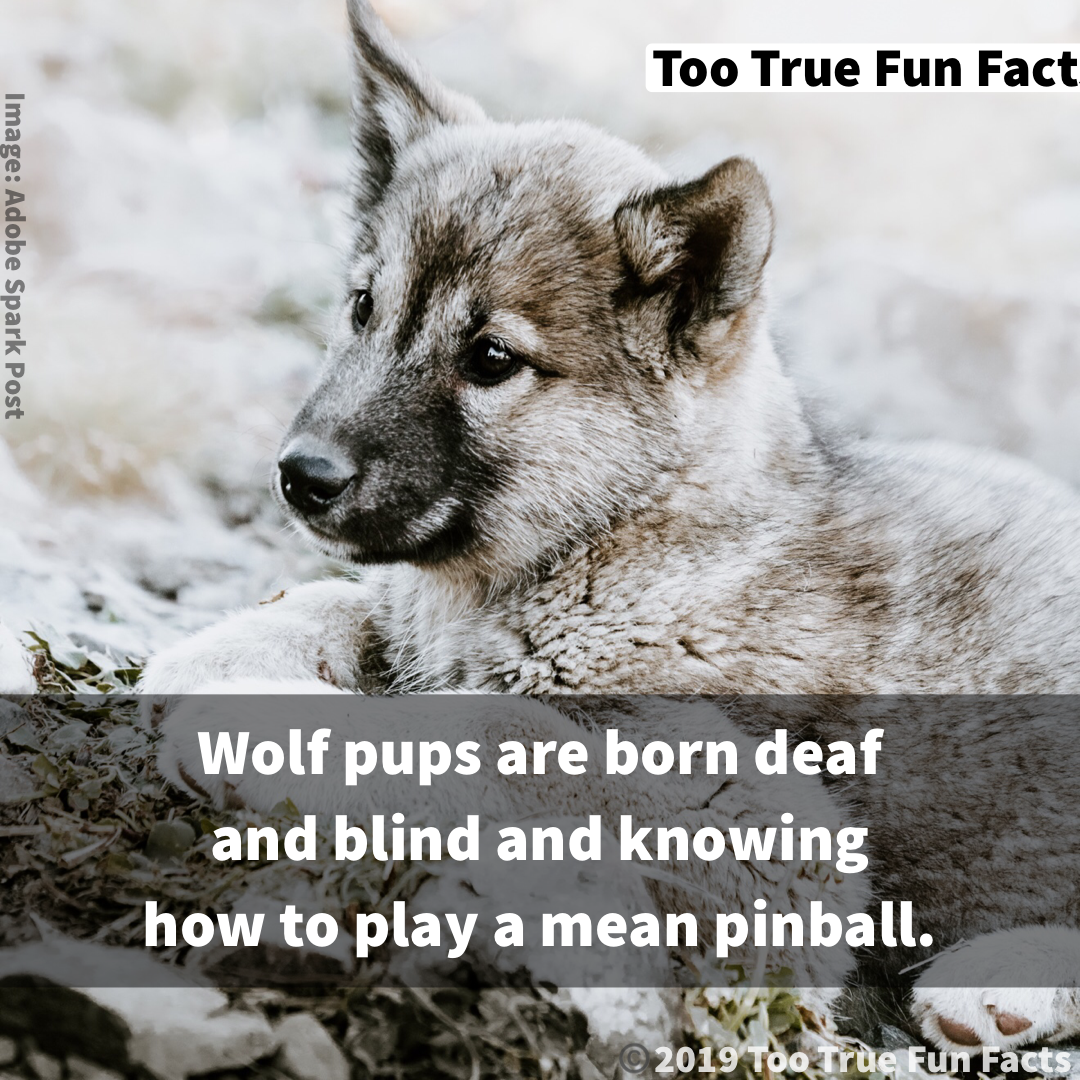 Wolf Fun Fact Too True Fun Facts is your Pinterest home