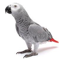 Congo African Grey Parrot African Grey Parrot Congo African Grey African Grey