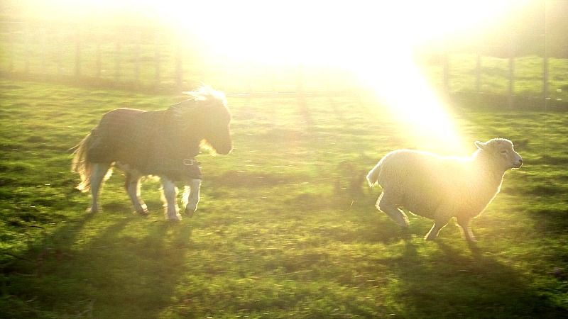"""Caitlin Blake from Stratford wins with her mini Daisy playing with her friend's pet sheep :) She is only 29"""" so is small enough to be one of them!!"""