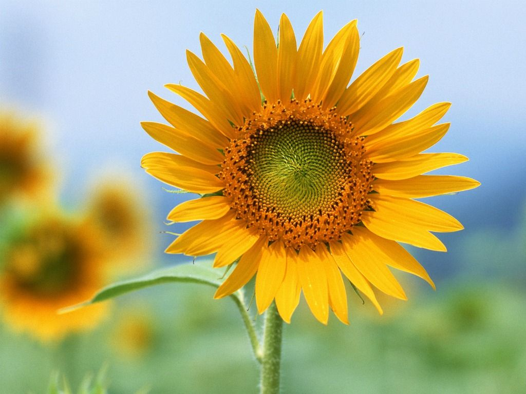 Single Sunflower Photography Hd Pictures 4 HD Wallpapers