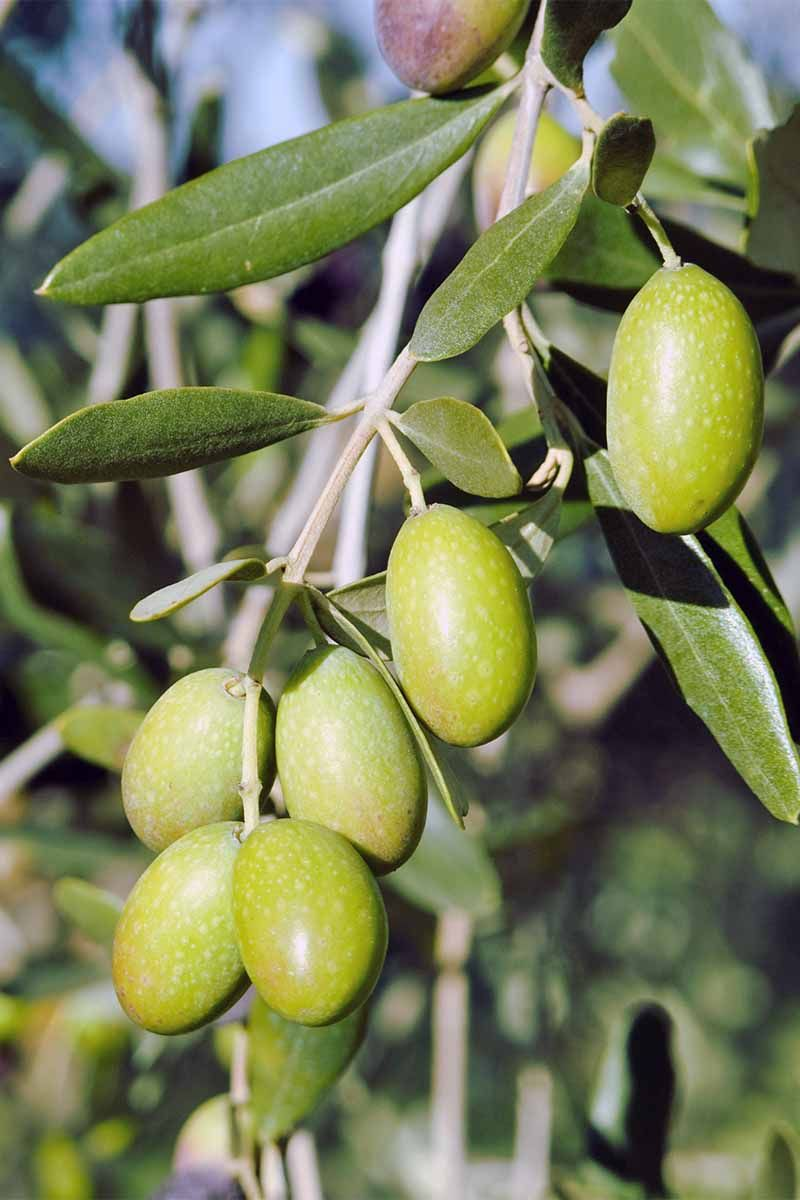 Learn How To Grow Olive Trees In The Home Landscape Growing
