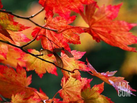 Acer Japonicum Vitifolium Vine Leaved Full Moon Mapleby Susie