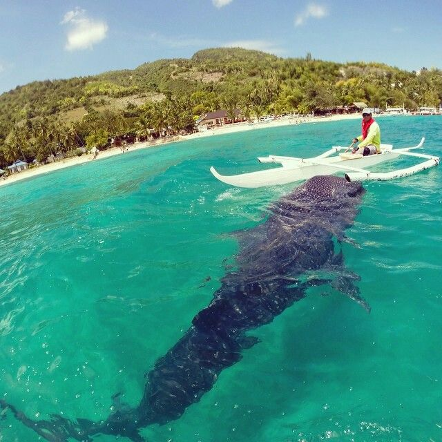 Went swimming in Cebu, Philippines wit Whale sharks