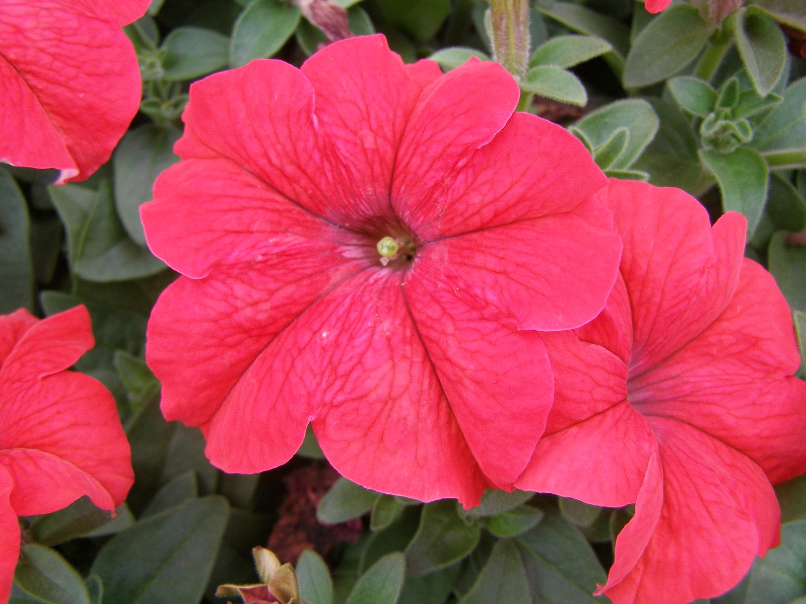 Petunia Dreams Red Google Search Petunias Plants Flower Seeds
