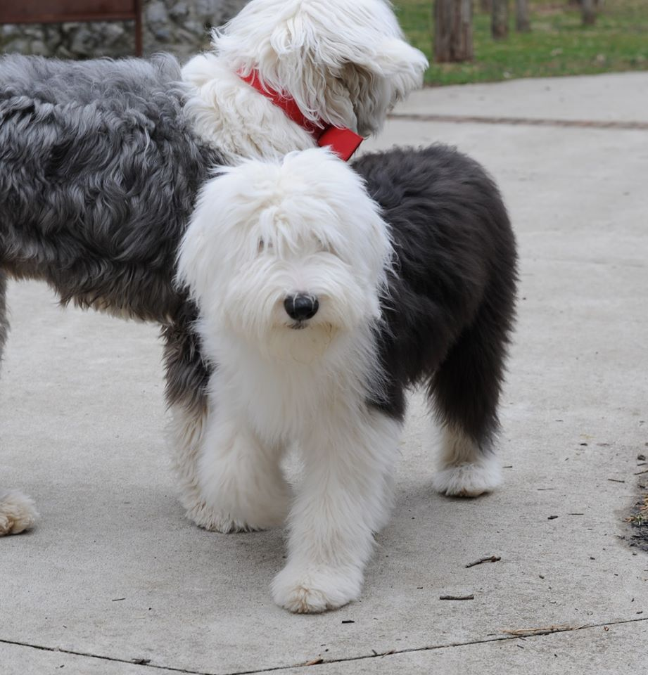 Little Sophie Old English Sheepdog Old English