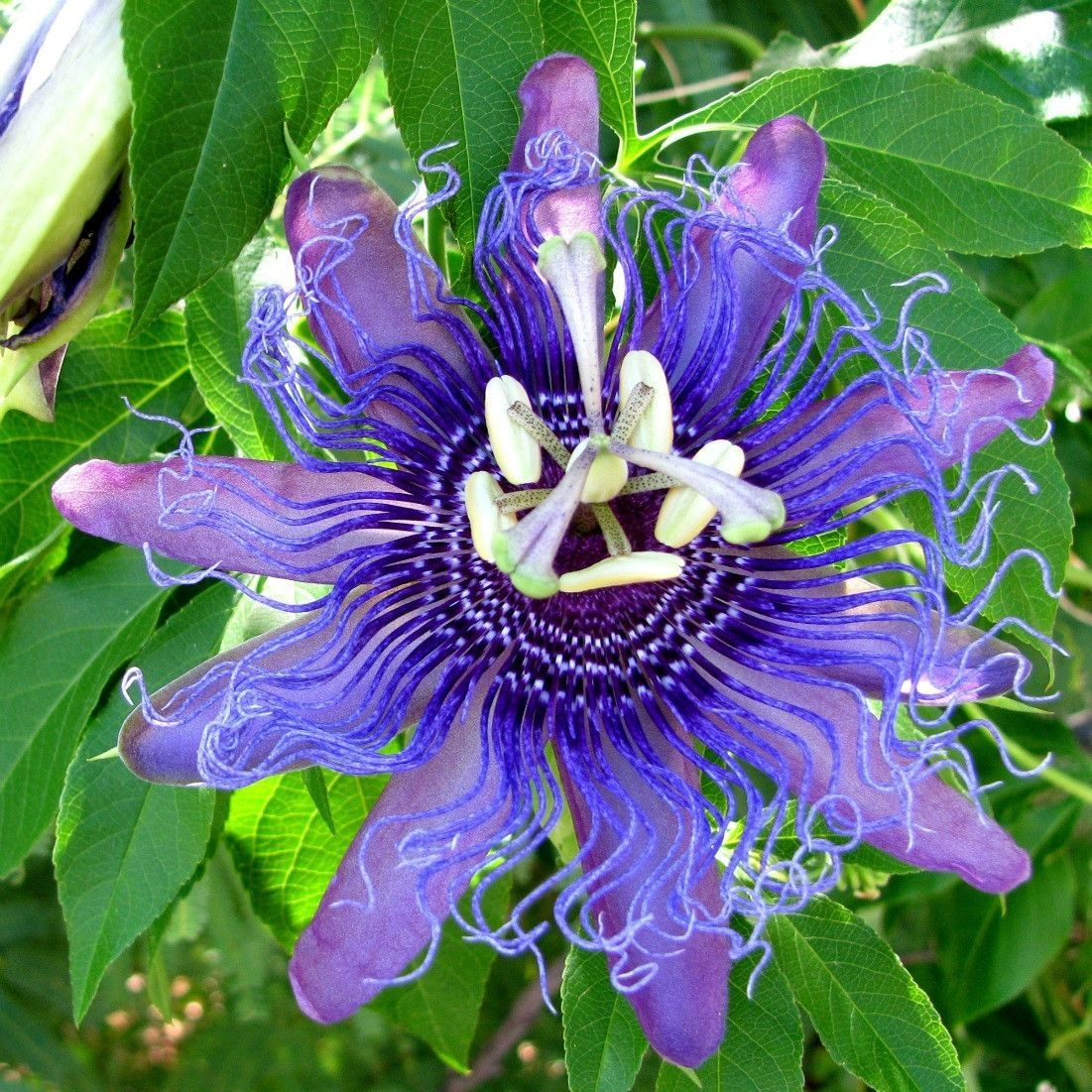 Passiflora Incarnata Is The Easiest And Most Rewarding Of All Passifloras It S Blooms Are Gorgeous And Fragran Passion Flower Passiflora Purple Passion Flower