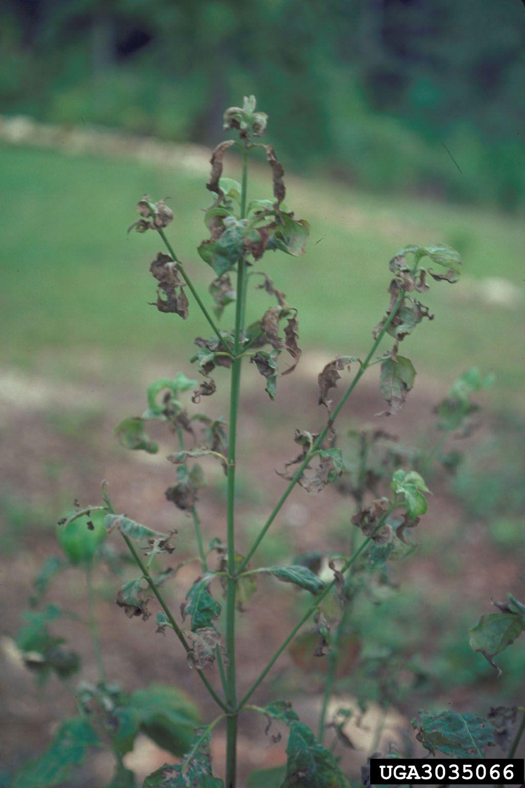 Kousa dogwood more disease tolerant than flowering