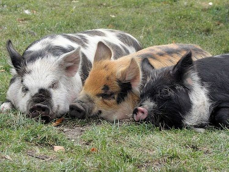 What to Expect With Kunekune Pig Breeds Pig breeds, Pot