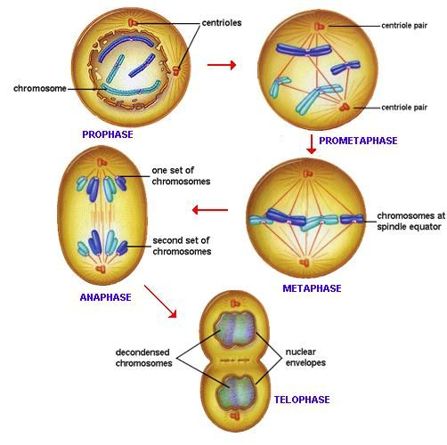 Cell Division Prophase Prometaphase Anaphase Manual Guide