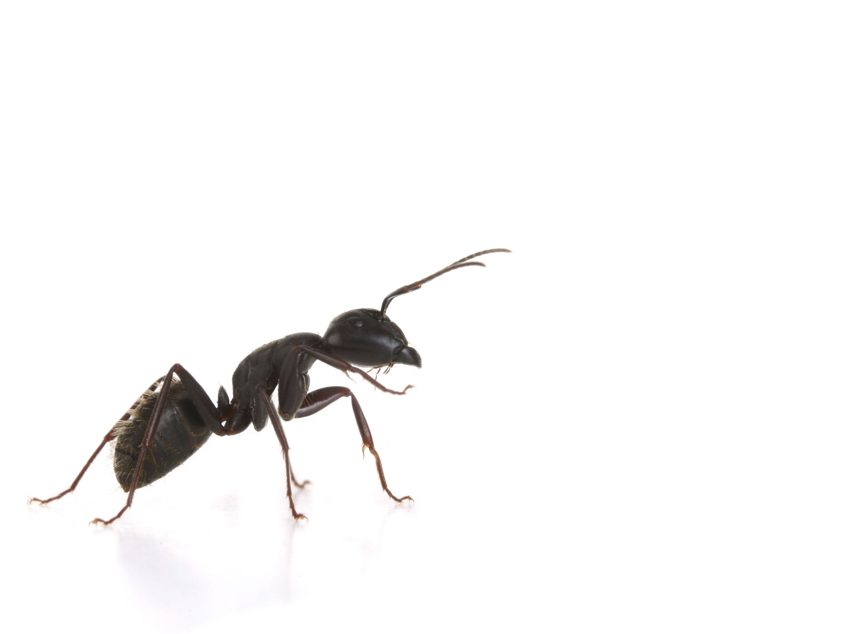 Carpenter Ant Awareness Week Is Here Click To Go To Our Blog And Learn How To Control These Pests Before They Infest Your Hom Pests Carpenter Ant Pest Control