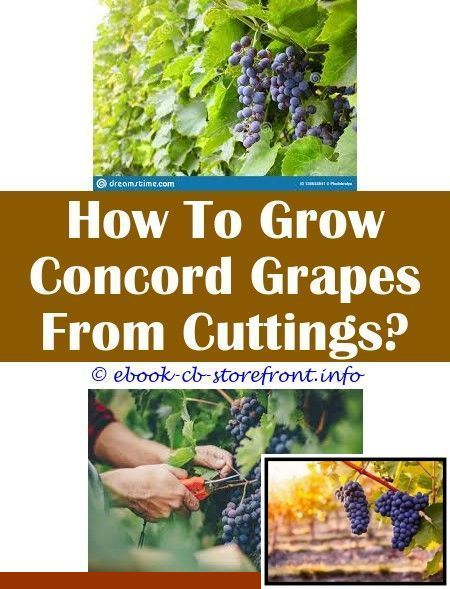 Growing grapes in the home garden and grapes grown from ...