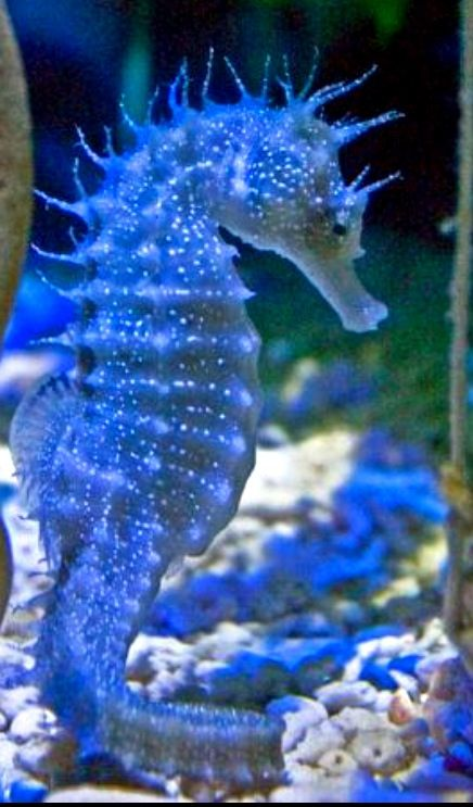 to see a seahorse in the wild in the ocean rather than an aquarium