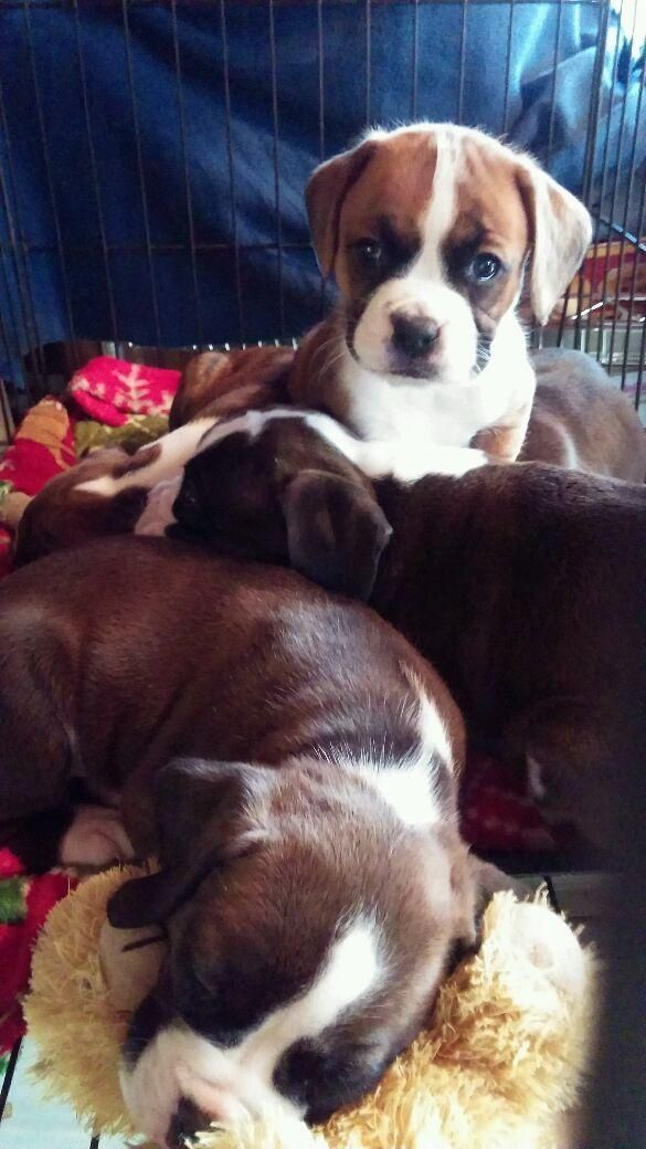BOXER PUPPIES - For Sale - Dogs - Paper Shop - Free