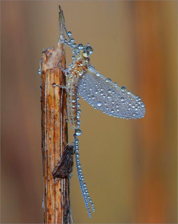Dragonfly covered in  dew..  Photo by Dariusz Ebertowski