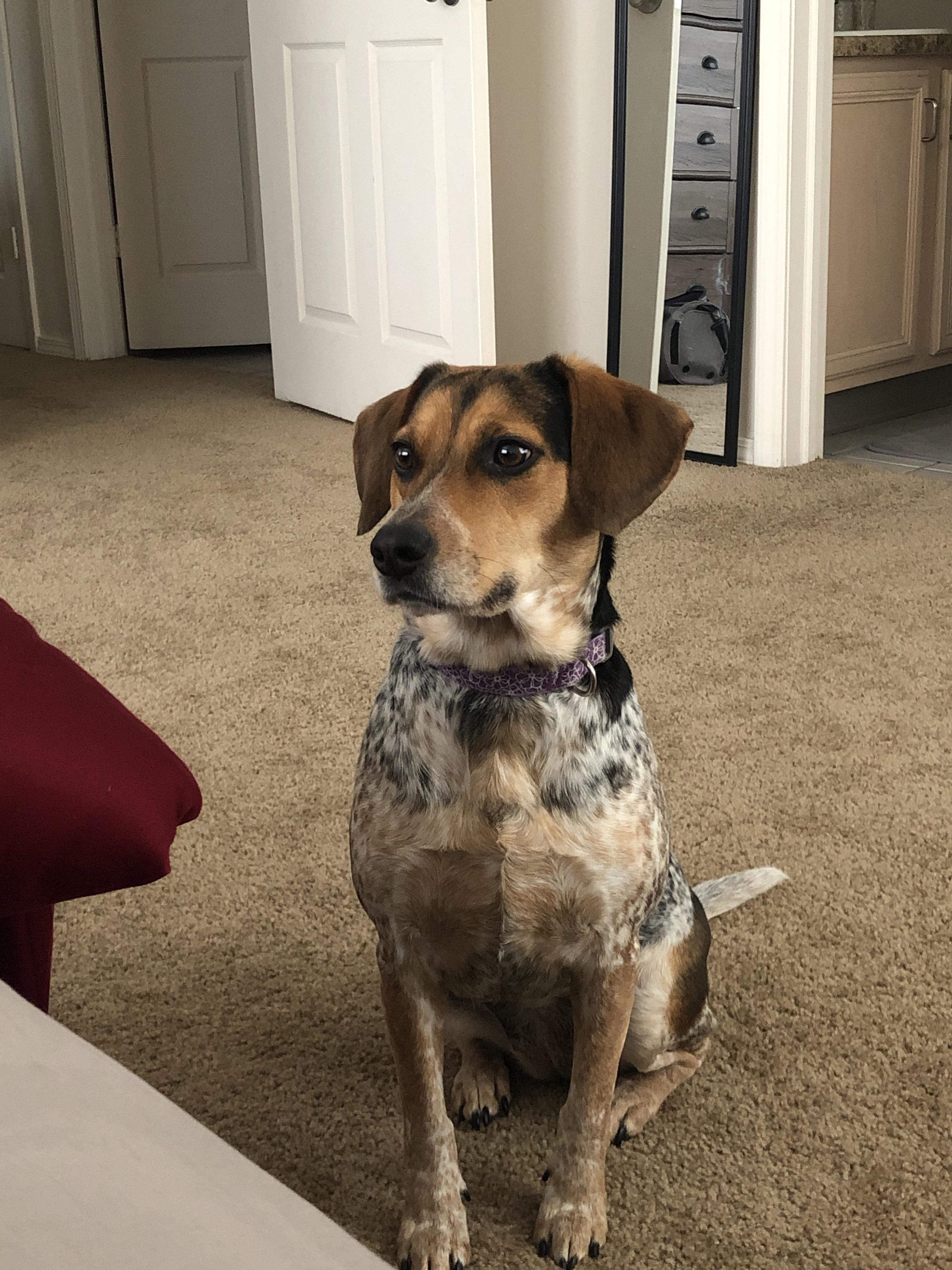 My Beagle Blue Heeler Mix Https Ift Tt 2f2idya Beagle Heeler