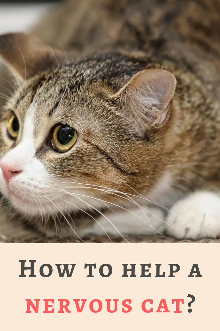 6 Things You Can Do To Help Your Nervous Cat Cat Training Calming Cat Cats