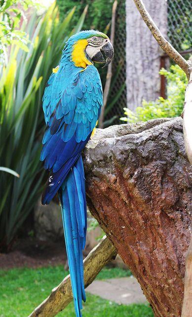 Guacamaya by RosalbaTarazona, via Flickr