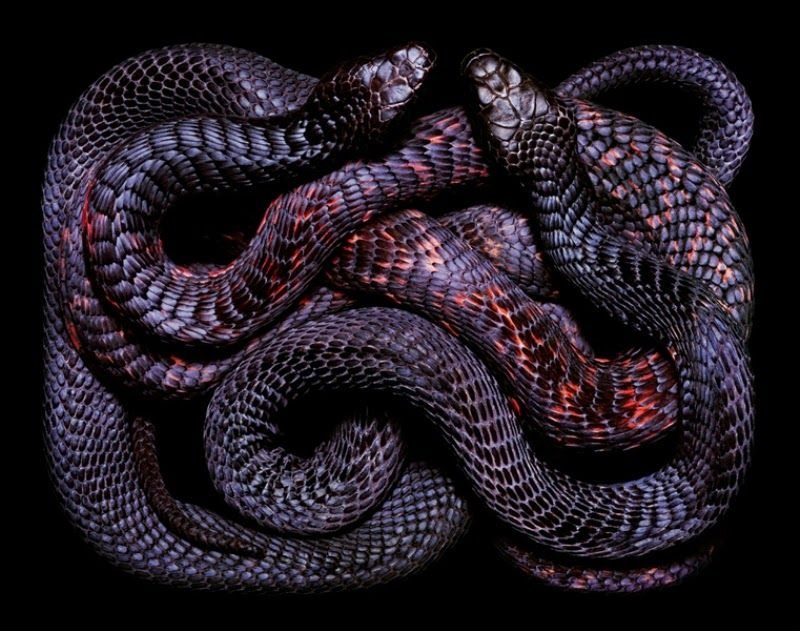 Swiss photographer Guido Mokafiko snakes photographed in a rectangular box. The result was a very original - a snake, moving erratically, creating intricate geometric patterns. The show, which under normal circumstances causes discomfort or fear of the audience, full of beauty, bright colors and unusual lines.