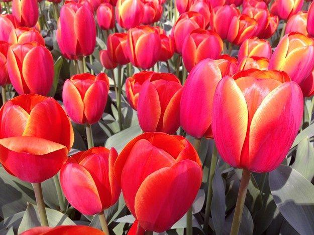 svenske tulipaner - Google-søgning