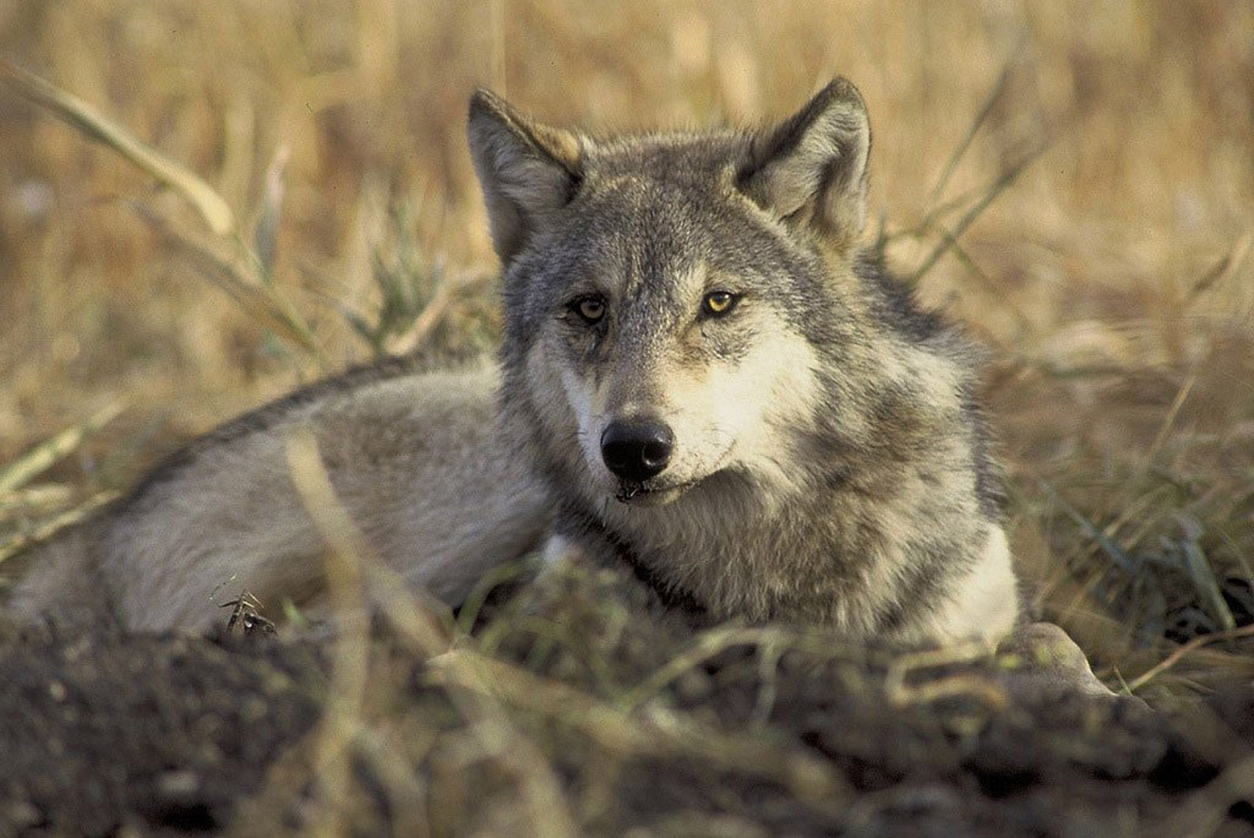 Why Washington Decided To Kill Off Once Endangered Wolves From Helicopters Endangered Species Animals Wildlife Society