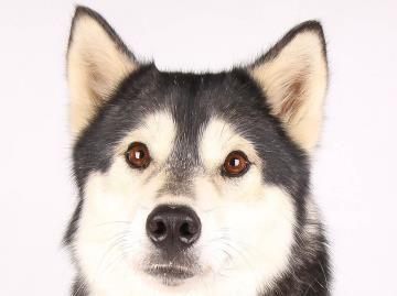 Petango Com Meet Luna A 5 Years 10 Months Siberian Husky
