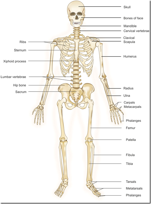 A Diagram Of The Skeletal System Fifth And Fourth Grade Science