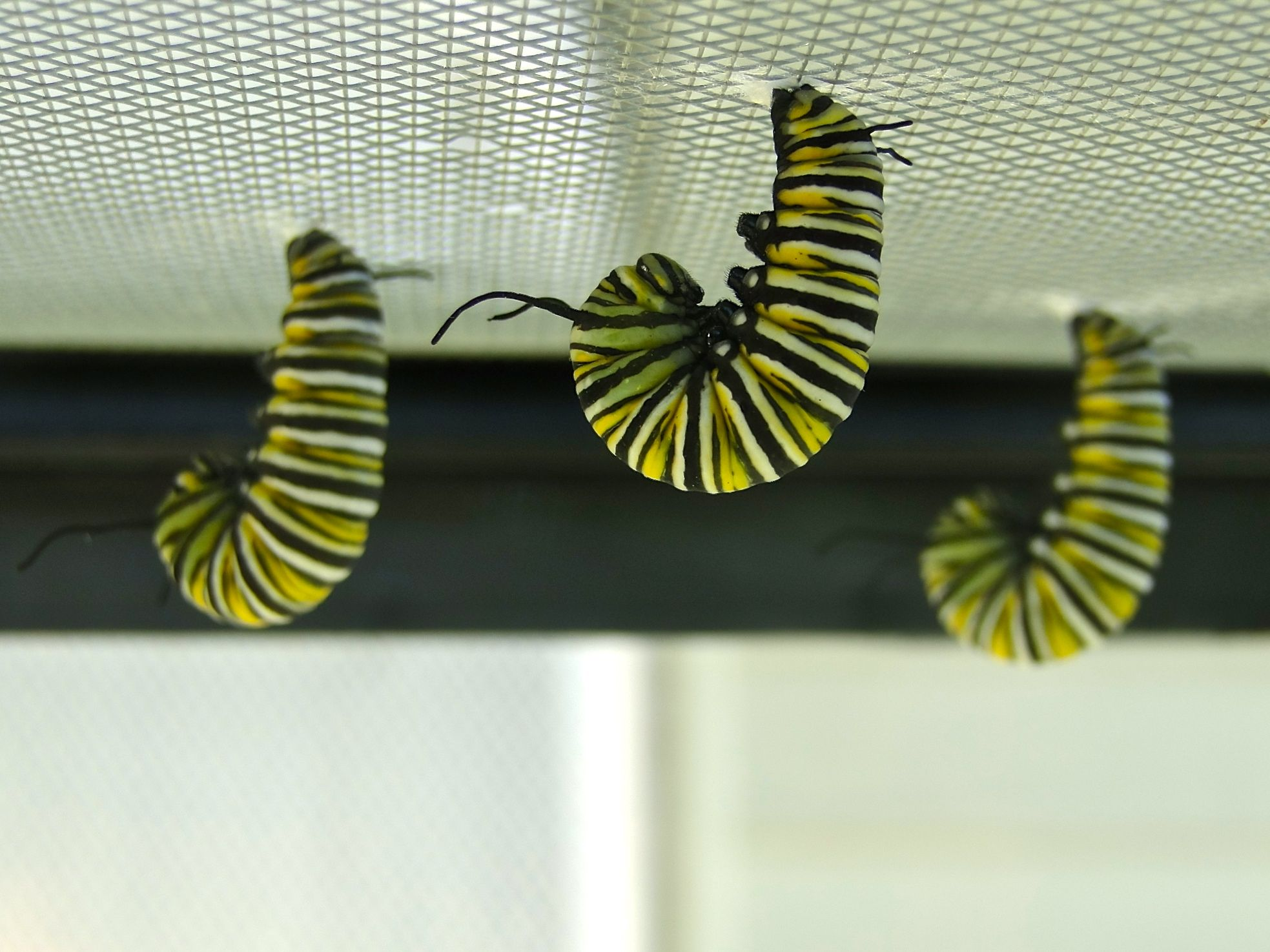 preparing to form chrysalis raising monarch butterflies my own