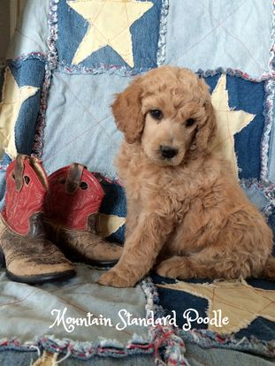Standard Poodle Puppy 5 Weeks Old Poodle Puppy Poodle Puppy