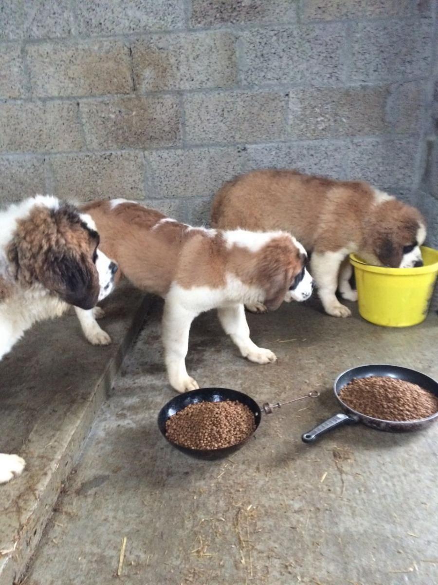 St. Bernard Puppies For Sale Huntsville, AL Puppies