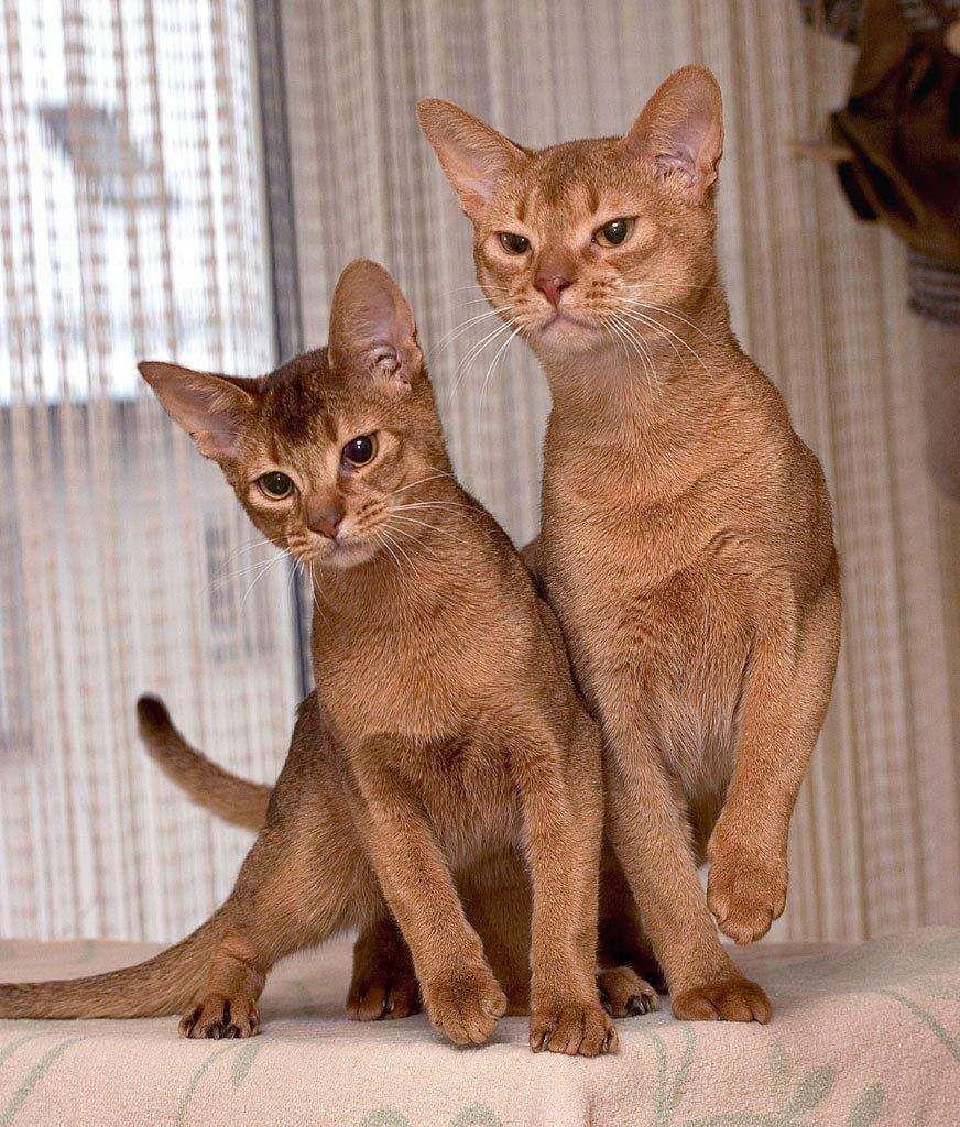 The Best Short Hair Cat Breeds | Short hair cats and Cat