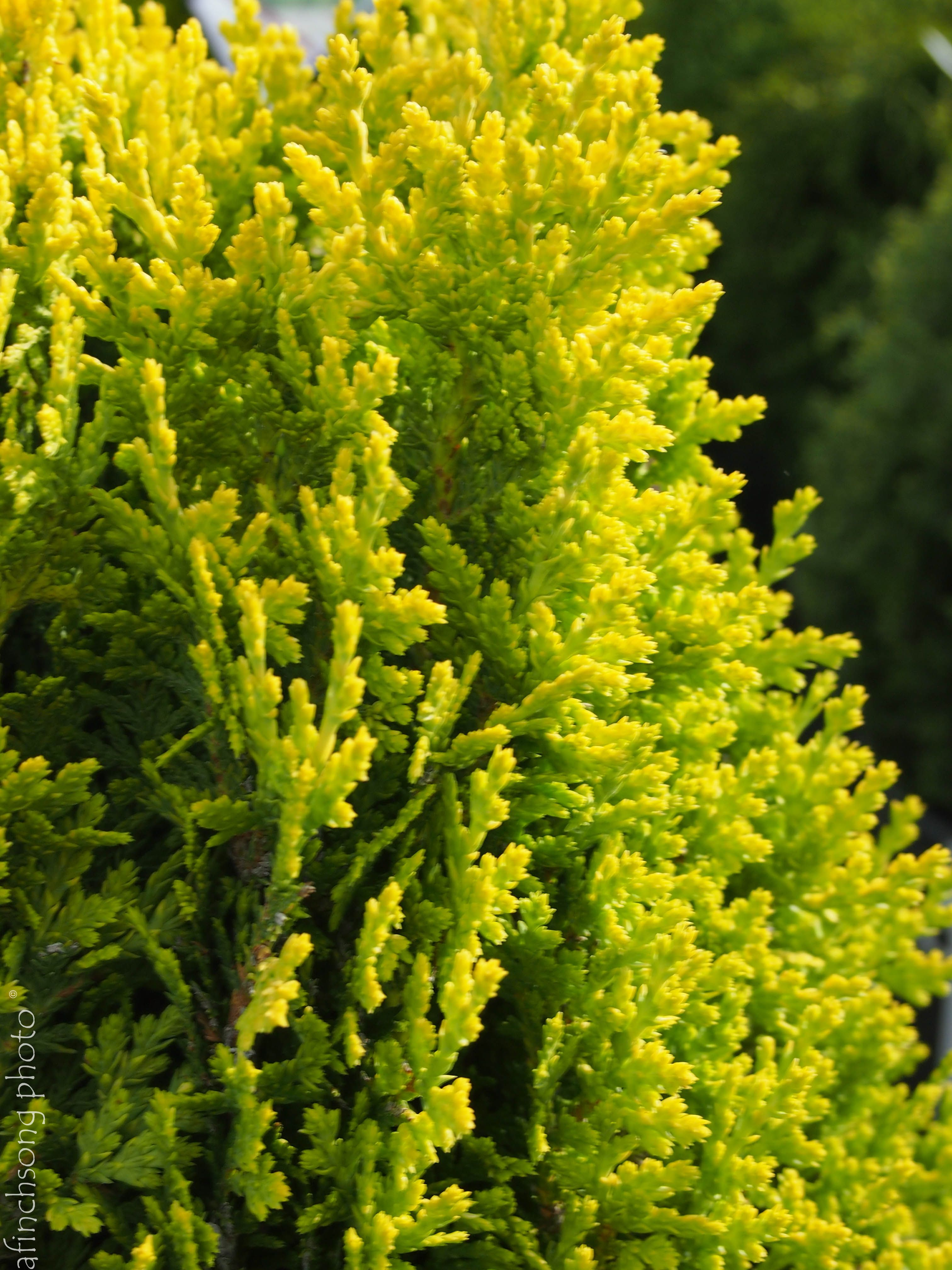 Thuja orientalis 39 westmont 39 westmont oriental arborviate for Small slow growing evergreen trees