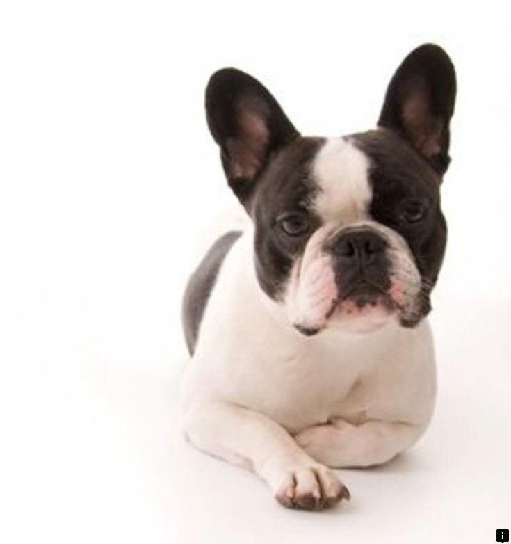 More About The Friendly French Bulldog Puppies Grooming