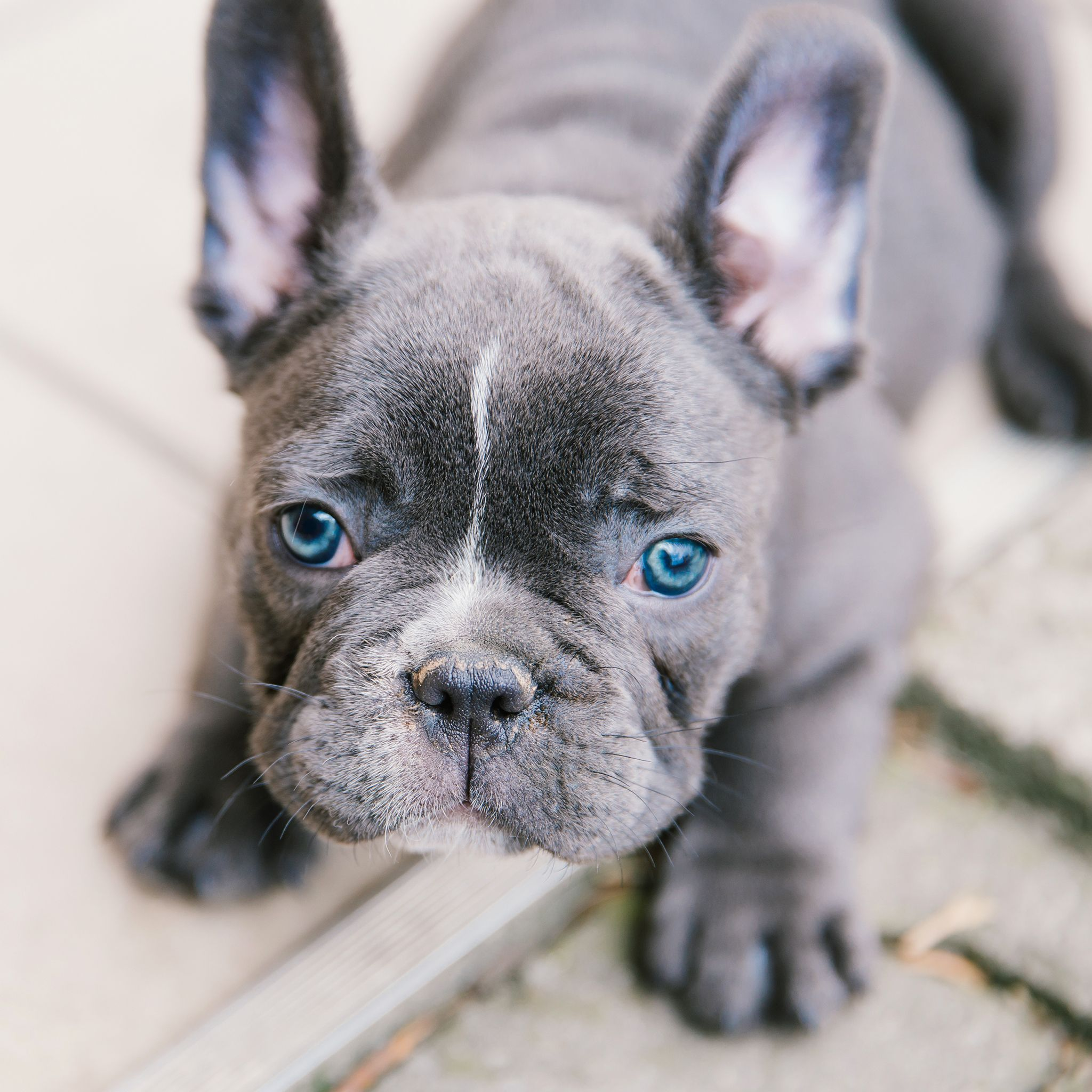 Teaching Your Puppies Right From The Start Bulldog Puppies Puppies With Blue Eyes French Bulldog Puppies