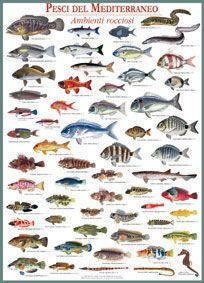 Poster pesci del mediterraneo roccia cose da comprare for Comprare pesci